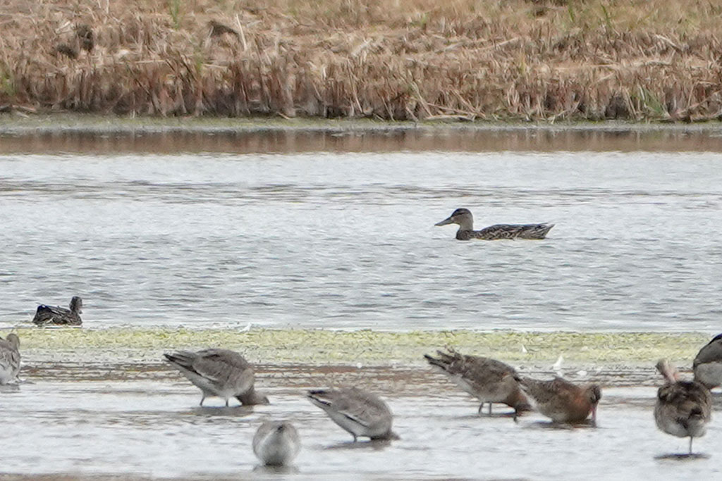 Blue-winged Teal, Co. Wexford, Ireland.