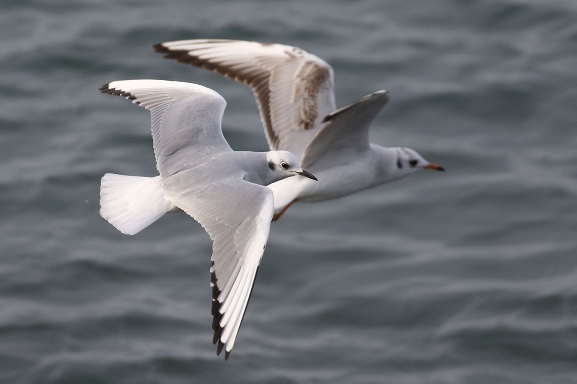 Bonaparte's Gull, Co. Wexford, Ireland.