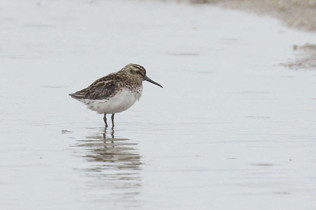 Broad-billed Sandpiper, Co. Wexford, Ireland.