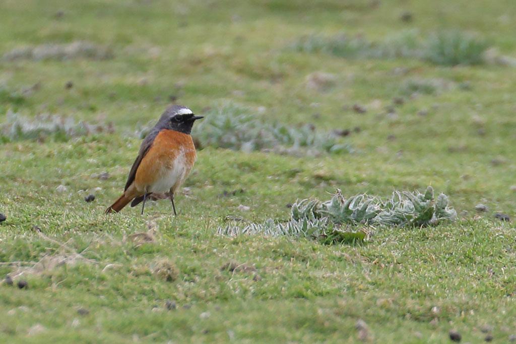 Common Redstart, Co. Wexford, Ireland.