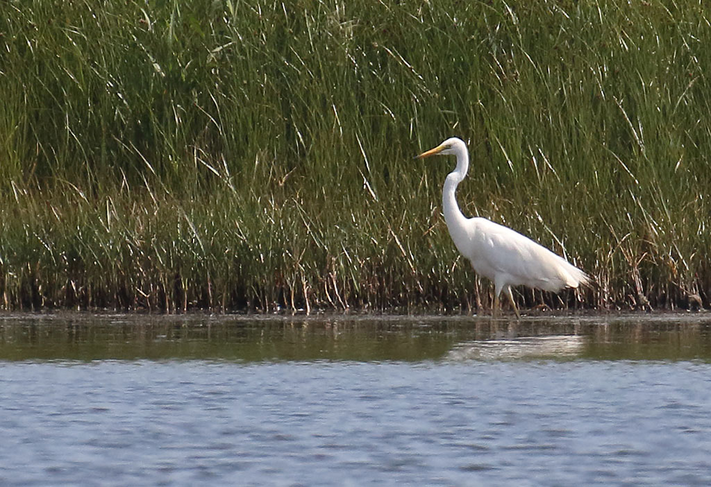 Great White Egret, Co. Wexford, Ireland.