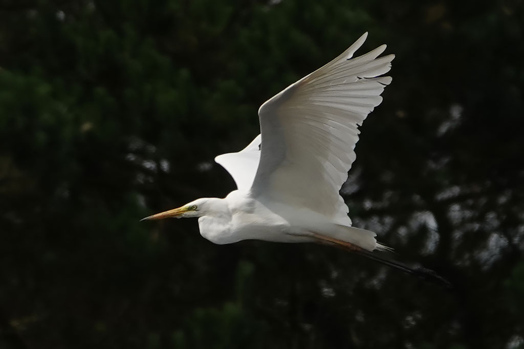 Great Egret, Co. Wexford, Ireland.