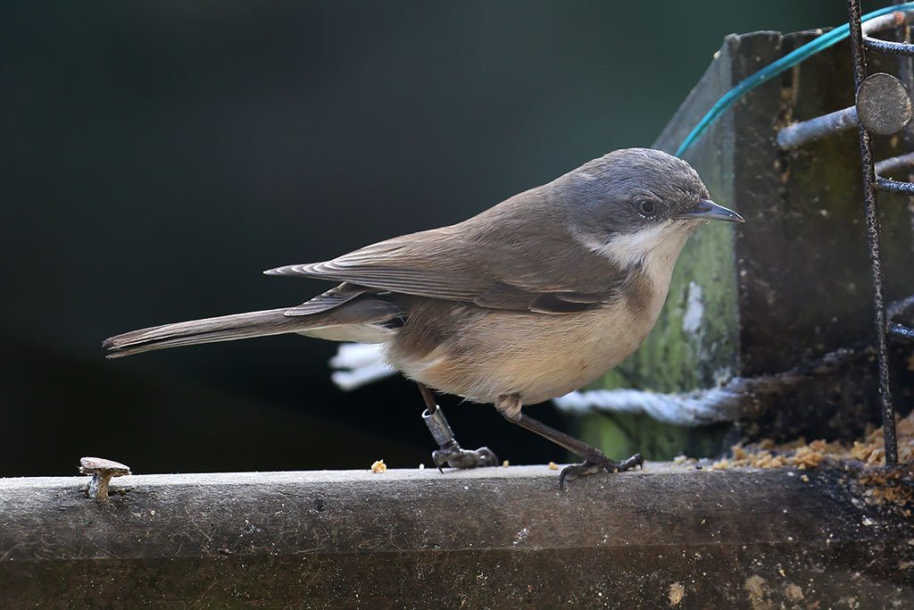 Lesser Whitethroat, Co. Tyrone, Ireland.