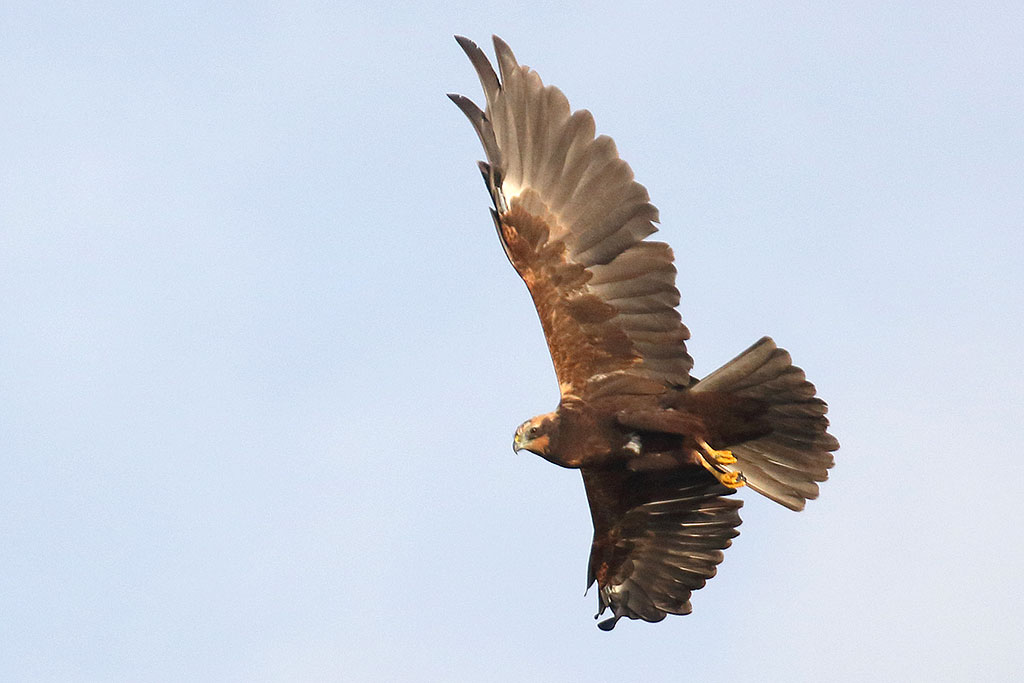 Marsh Harrier, Co. Wexford, Ireland.