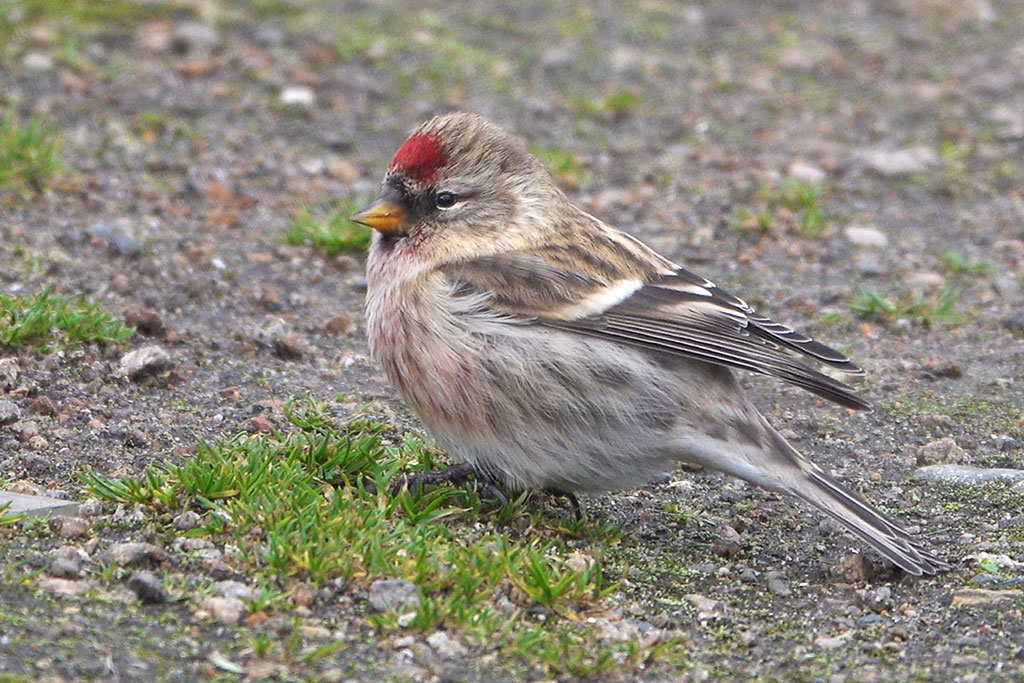 Common Redpoll, Co. Donegal, Ireland.