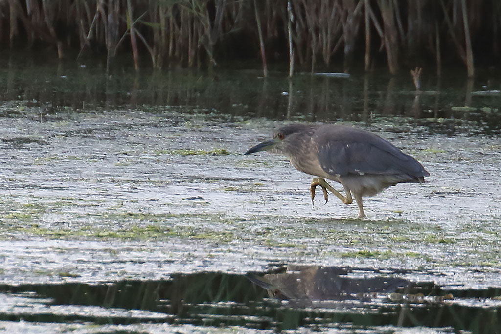 Night Heron, Co. Wexford, Ireland.
