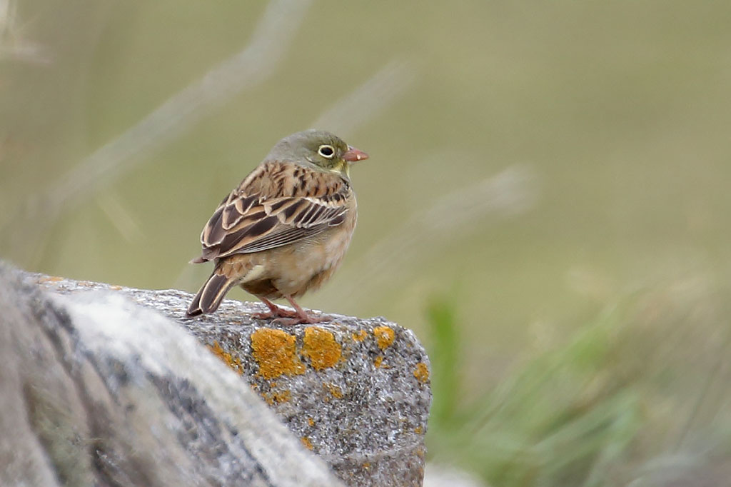 Ortolan Bunting, Co. Wexford, Ireland.
