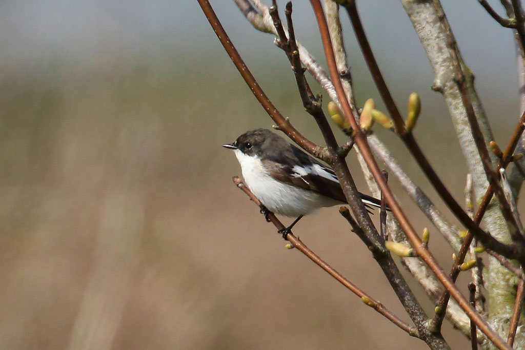 Pied Flycatcher, Co. Wexford, Ireland.