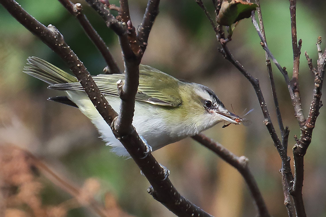 Red-eyed Vireo, Co. Cork, Ireland.