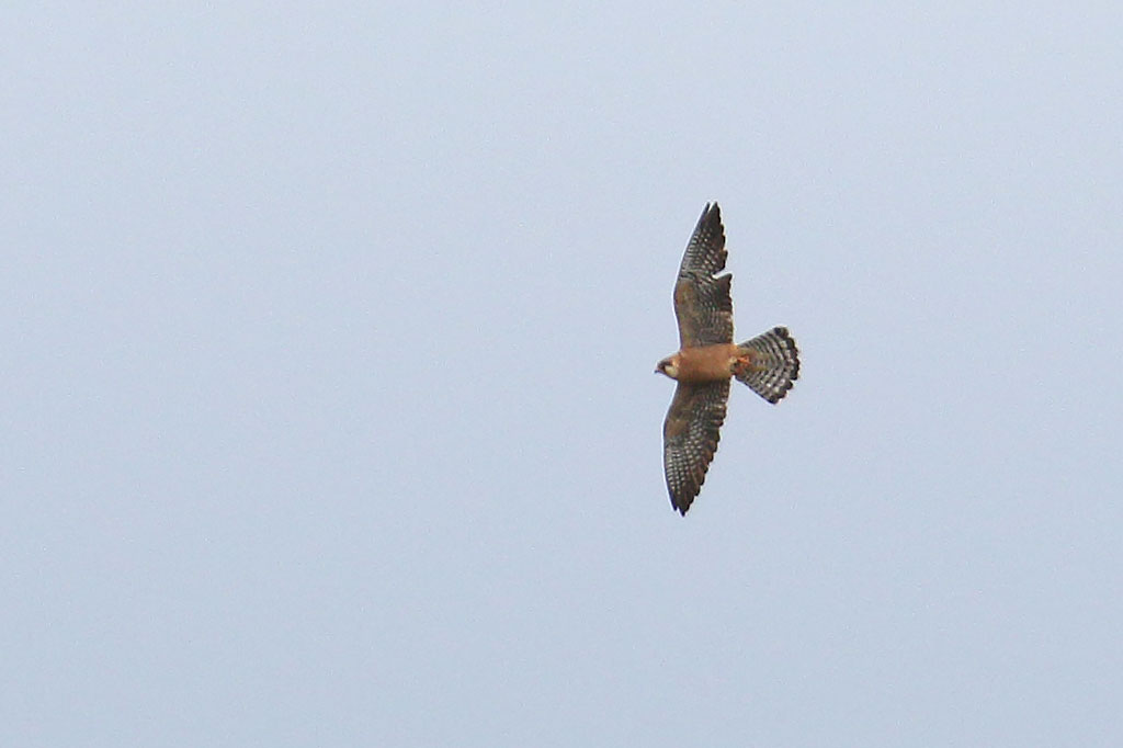 Red-footed Falcon, Co. Wexford, Ireland.