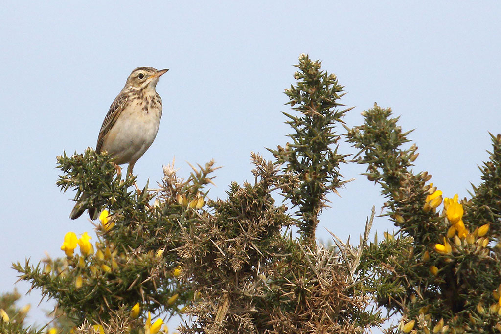 Richard's Pipit, Co. Wexford, Ireland.