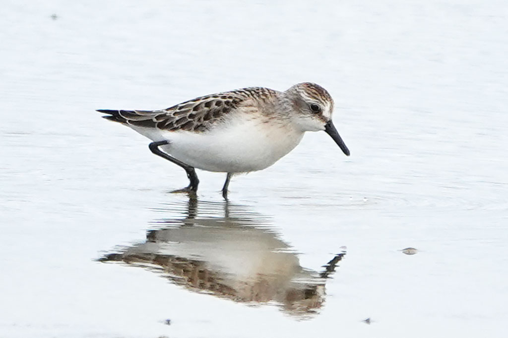 Semipalmated Sandpiper, Co. Wexford, Ireland.