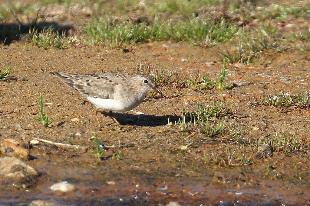 Temminck's Stint, Co. Wexford, Ireland.