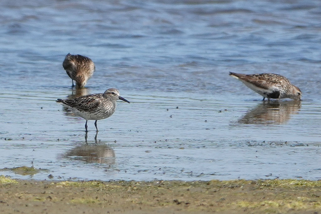 White-rumped Sandpiper, Co. Wexford, Ireland.