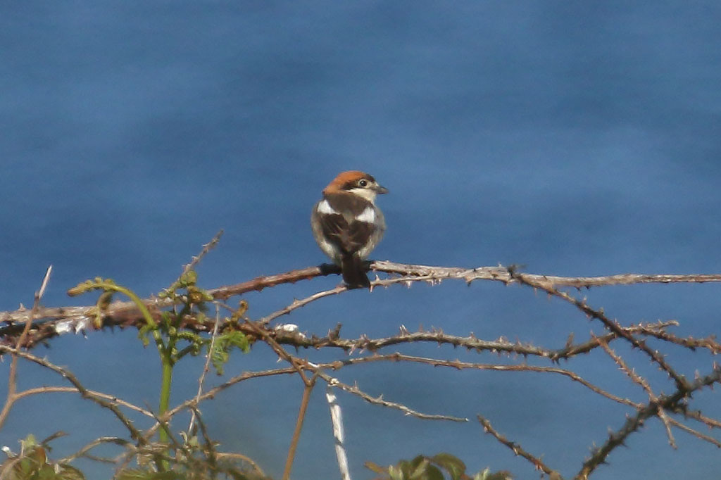 Woodchat Shrike, Co. Wexford, Ireland.
