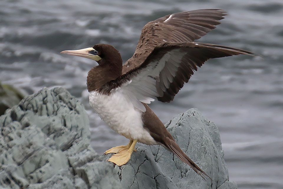 Brown Booby, Co. Wicklow, Ireland.
