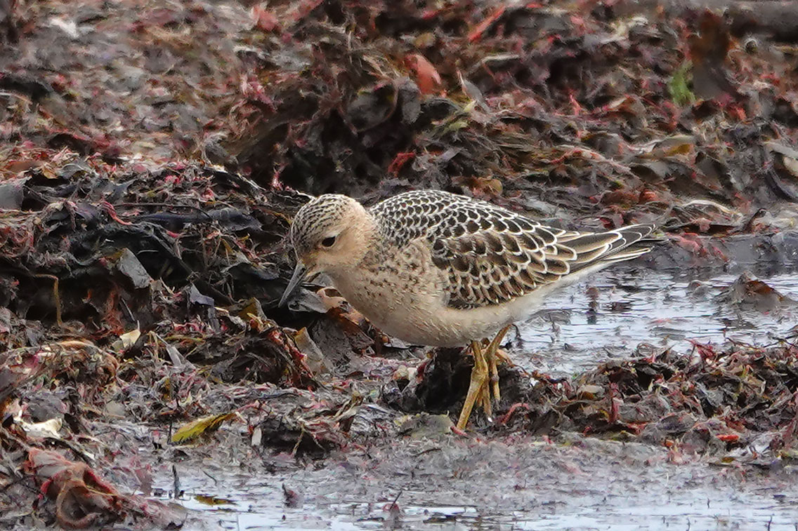 Buff-breasted Sandpiper, Co. Wexford, Ireland.