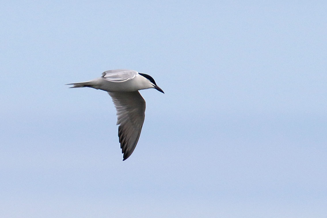Gull-billed Tern, Co. Wexford, Ireland.