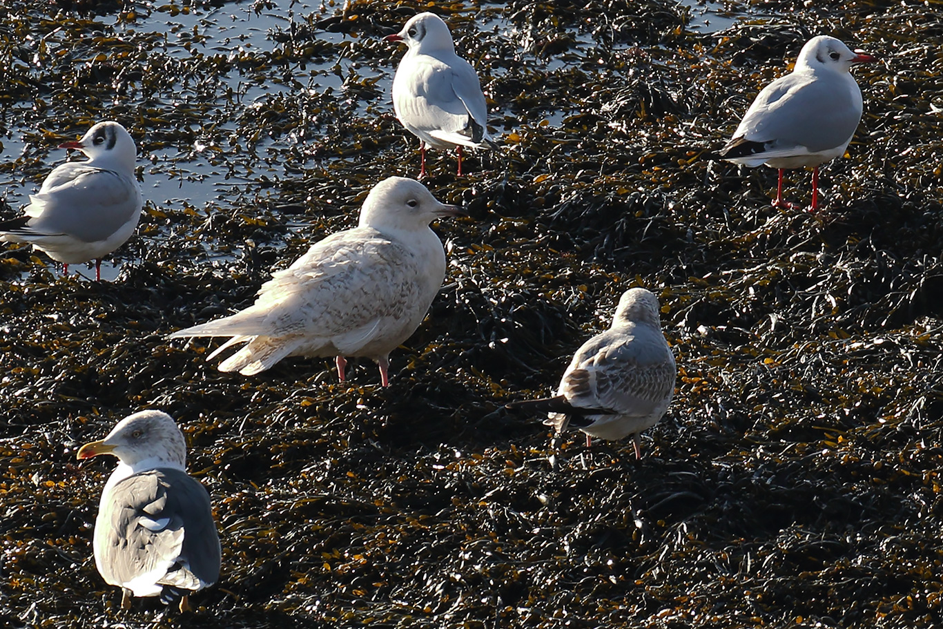 Iceland Gull, Co. Wexford, Ireland.