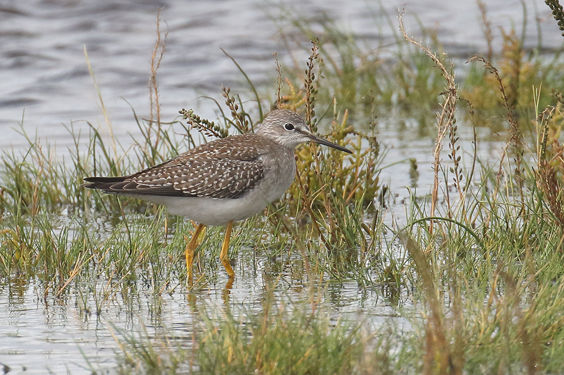 Lesser Yellowlegs, Co. Wexford, Ireland.
