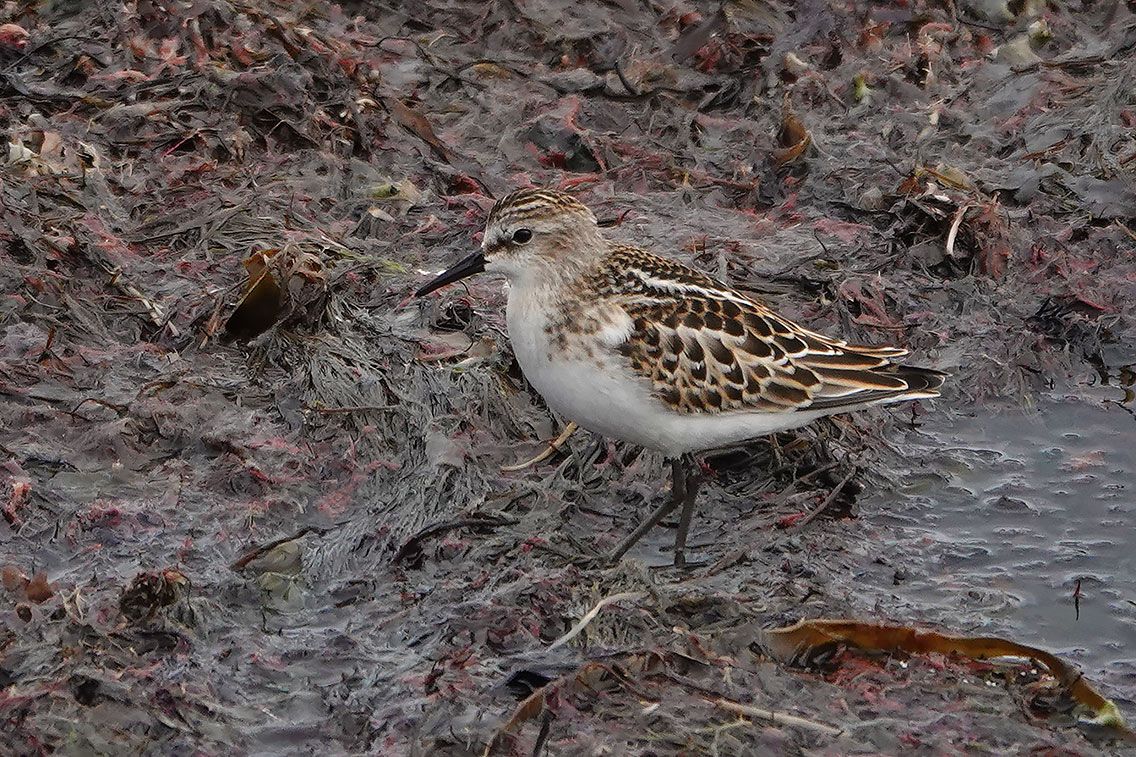 Little Stint, Co. Wexford, Ireland.