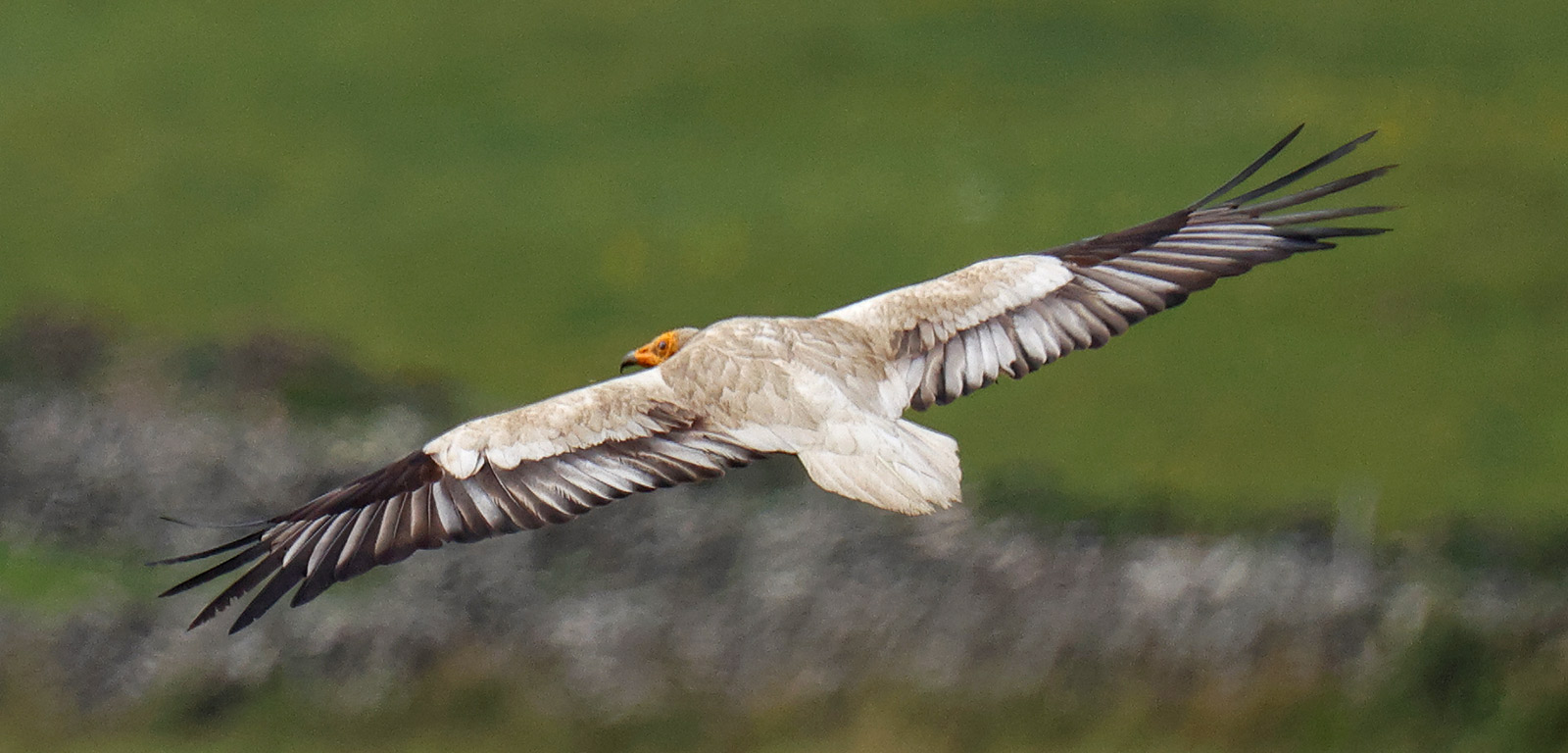 Egyptian Vulture, Co. Donegal, Ireland.