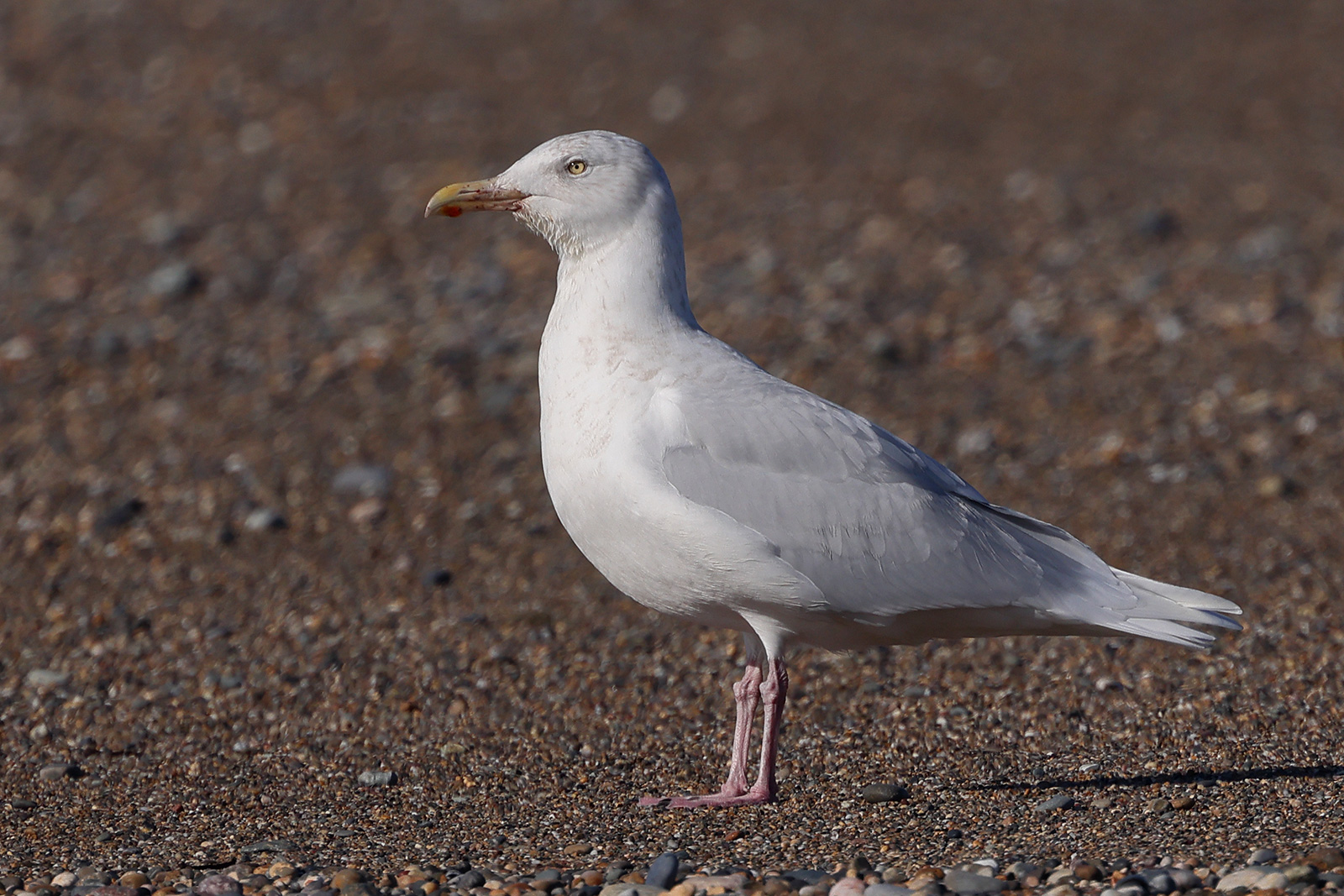 Glaucous Gull, Co. Wexford, Ireland.