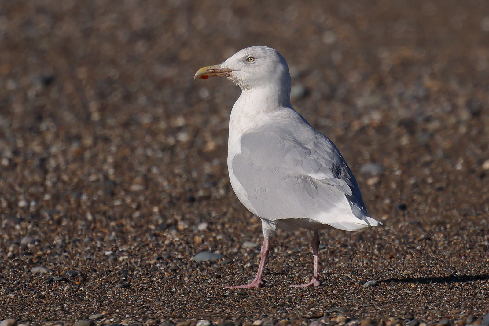 Glaucous Gull, Co. Wexford, Ireland.