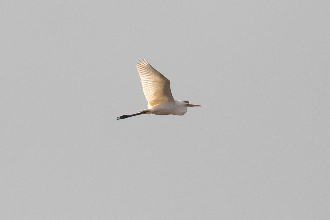 Great White Egret, Co. Wexford, Ireland.