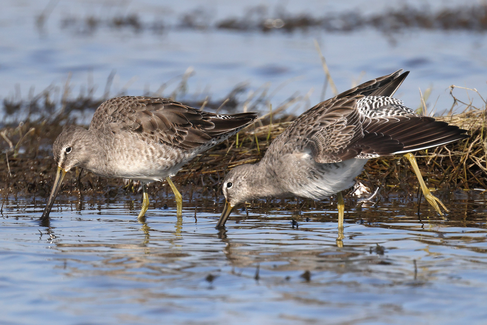 Long-billed Dowitcher, Co. Wexford, Ireland.