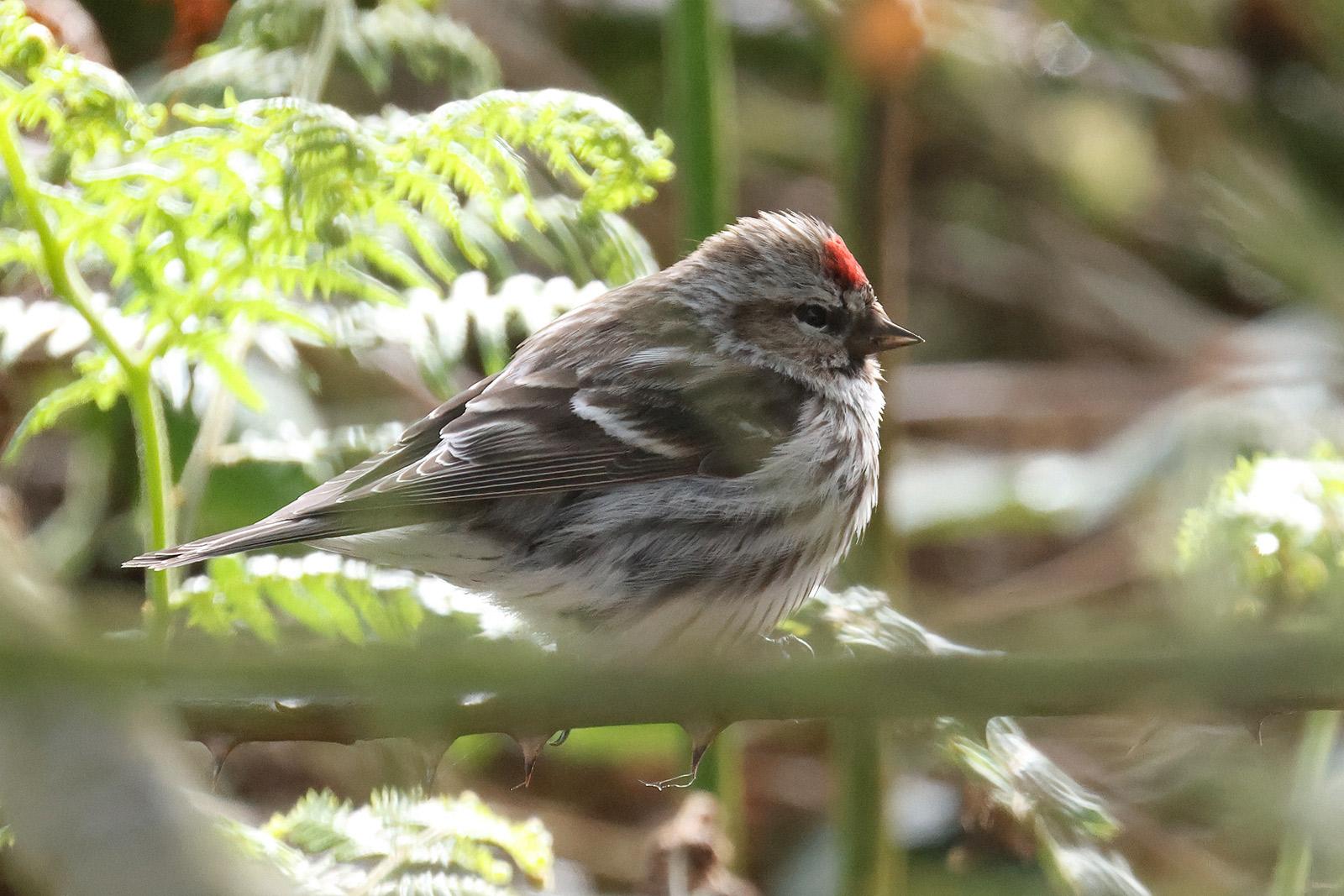 Common Redpoll, Co. Wexford, Ireland.