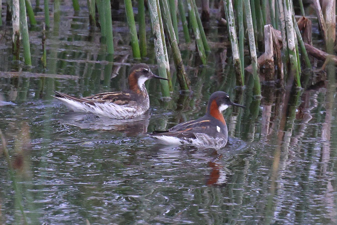 Red-necked Phalarope, Co. Mayo, Ireland.