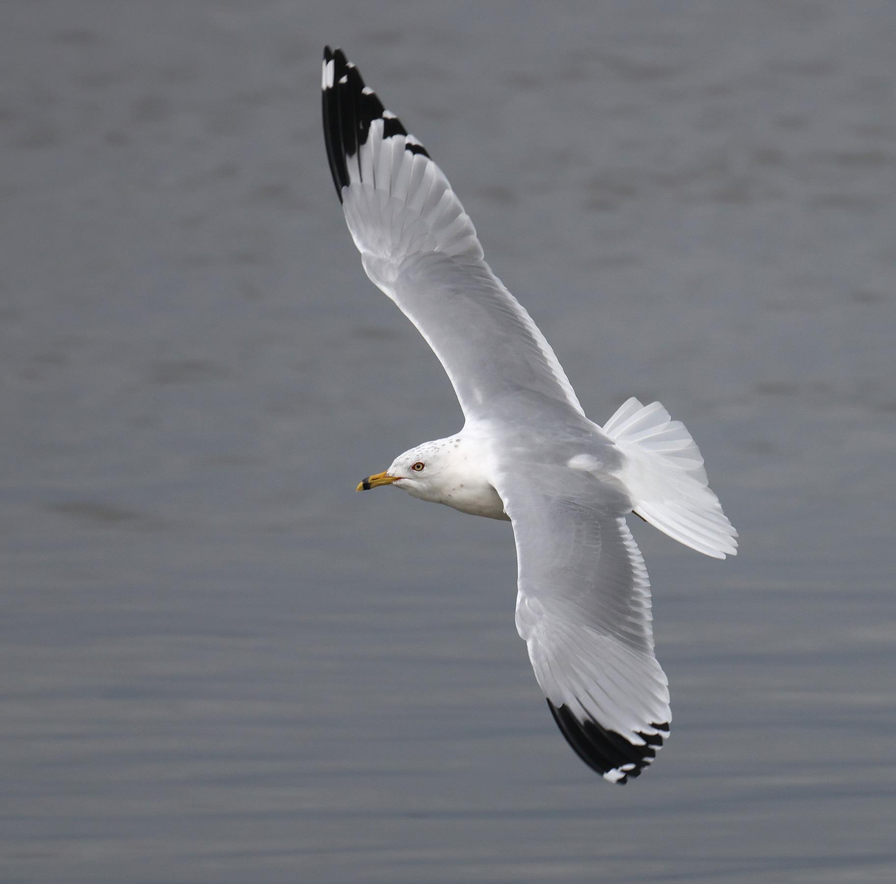 Ring-billed Gull, Co. Wexford, Ireland.