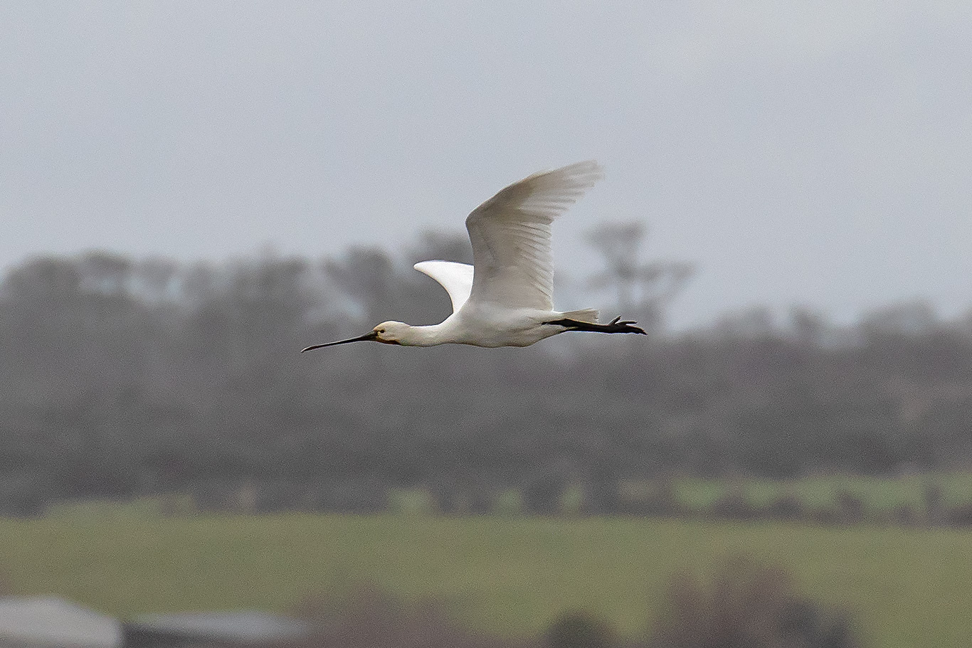 Spoonbill, Co. Wexford, Ireland.