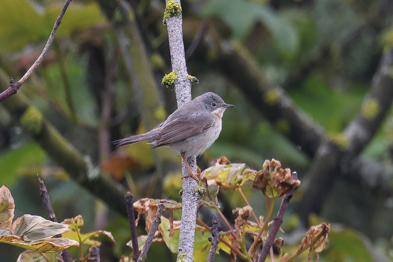 Western Subalpine Warbler, Co. Wexford, Ireland.