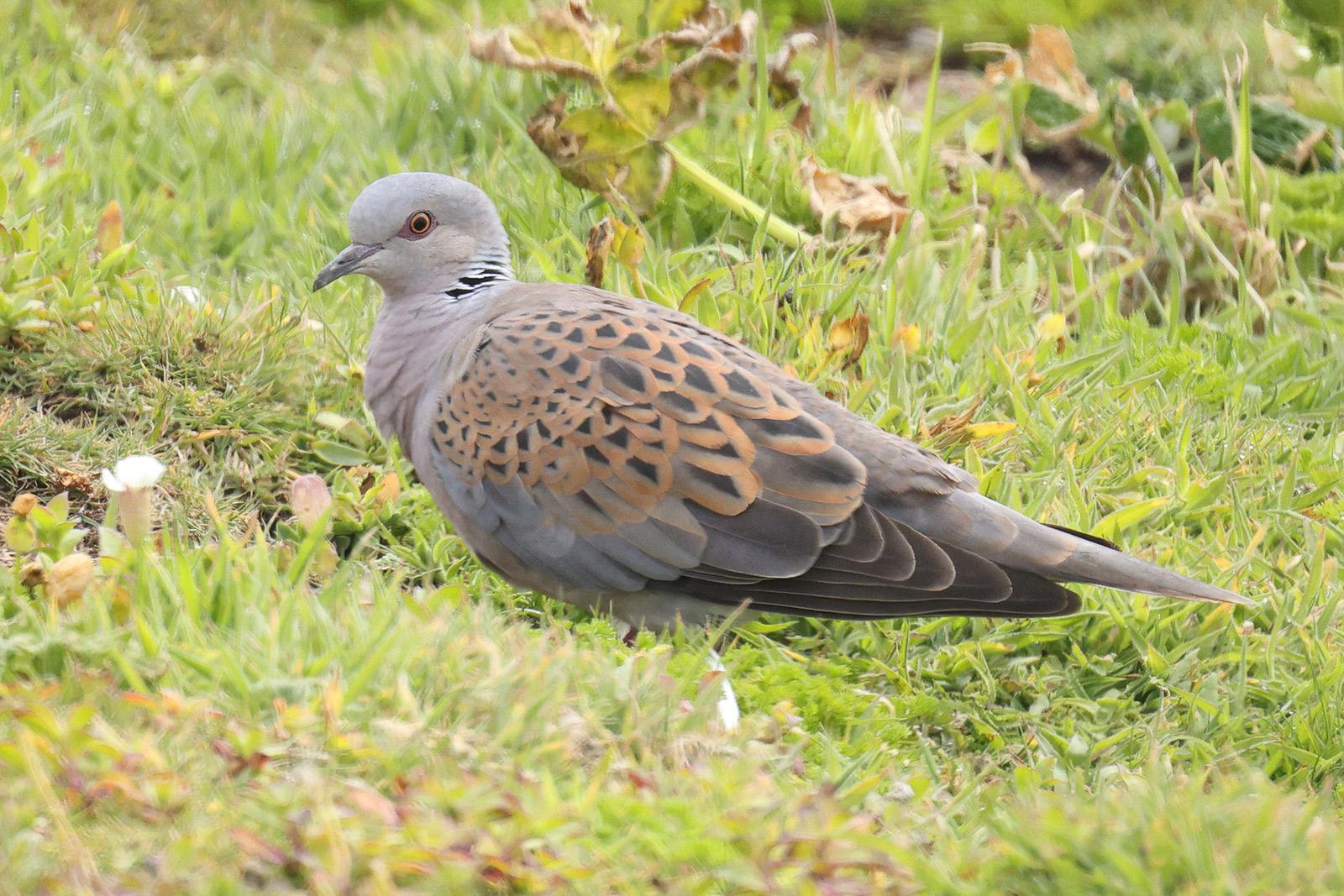 Turtle Dove, Co. Wexford, Ireland.