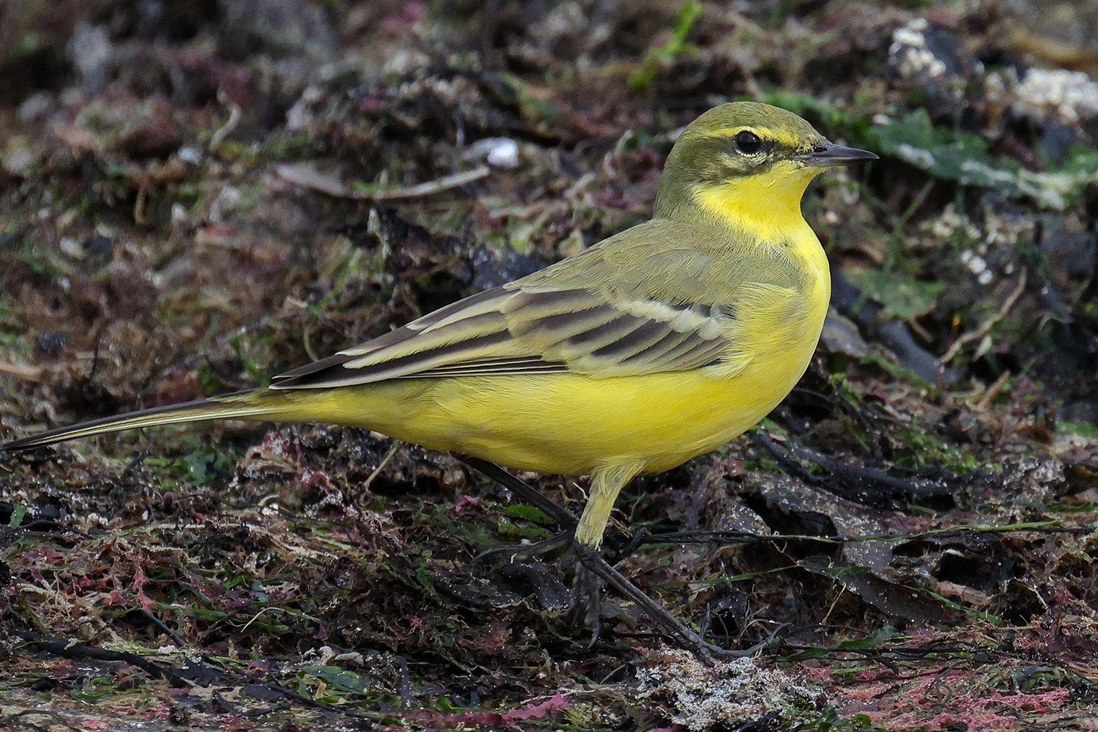 Yellow Wagtail, Co. Wexford, Ireland.