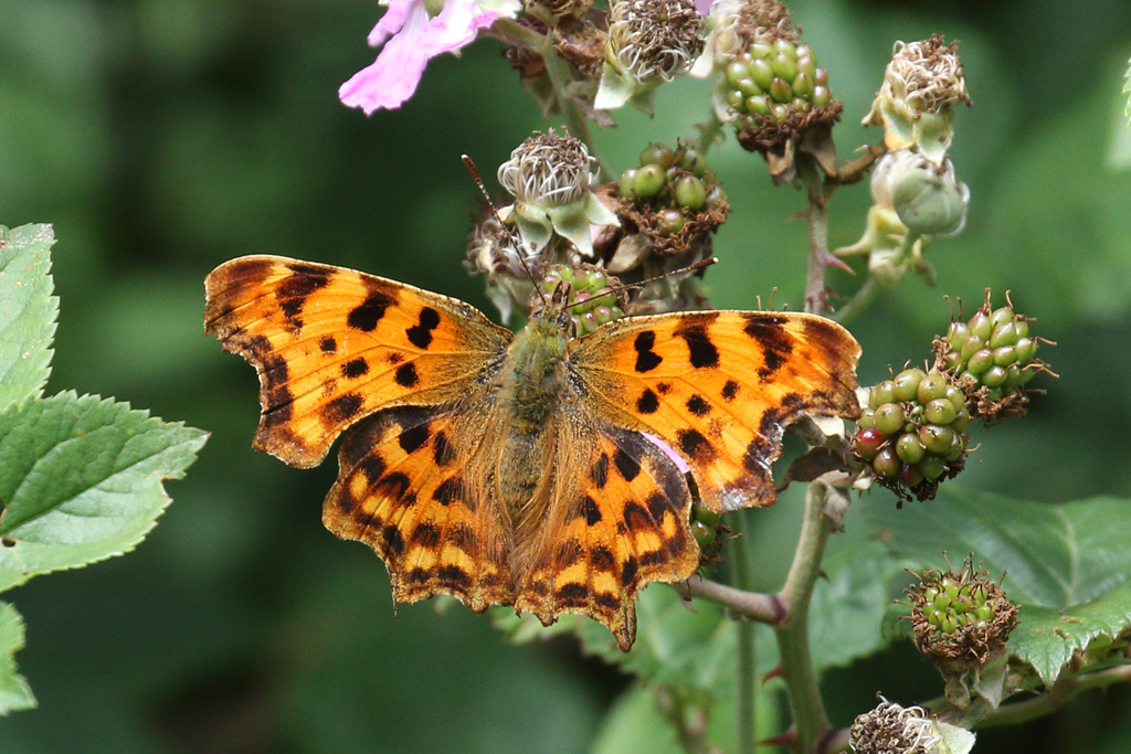 Comma, Co. Wexford, Ireland.