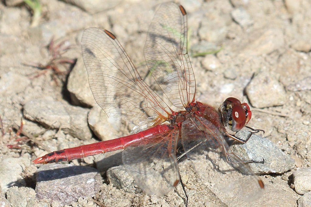 Red-veined Darter, Co. Wexford, Ireland.