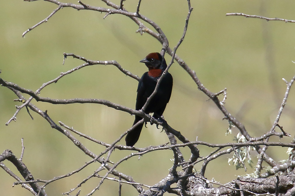 Chestnut-capped Blackbird, Entre Ríos, Argentina.