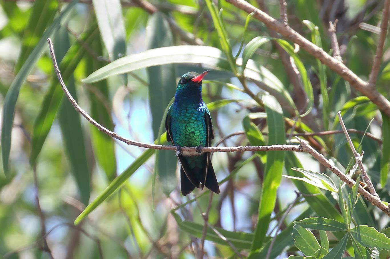 Glittering-bellied Emerald, Entre Ríos, Argentina.