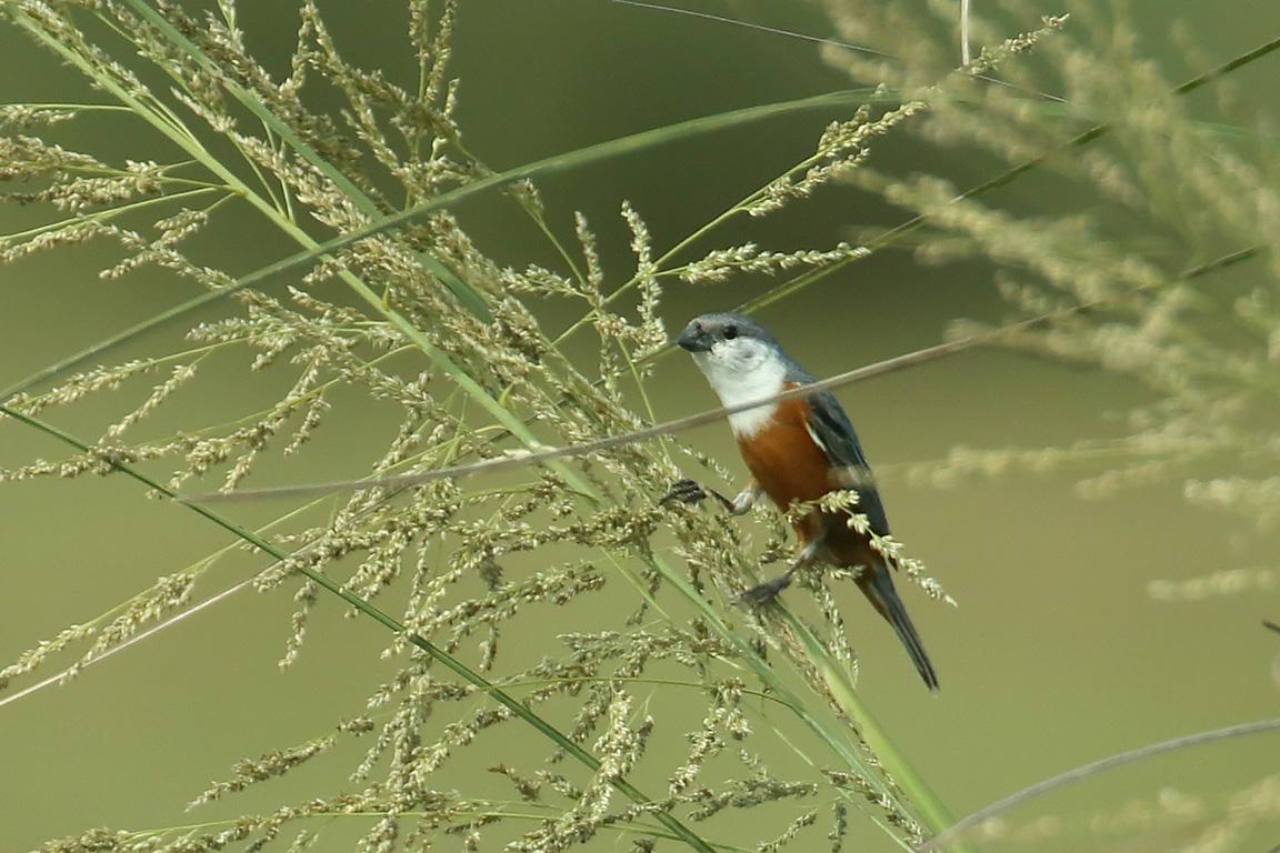 Marsh Seedeater, Ceibas, Argentina.