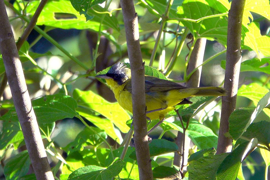 Masked Yellowthroat, Parque Nacional Iguazú, Argentina.