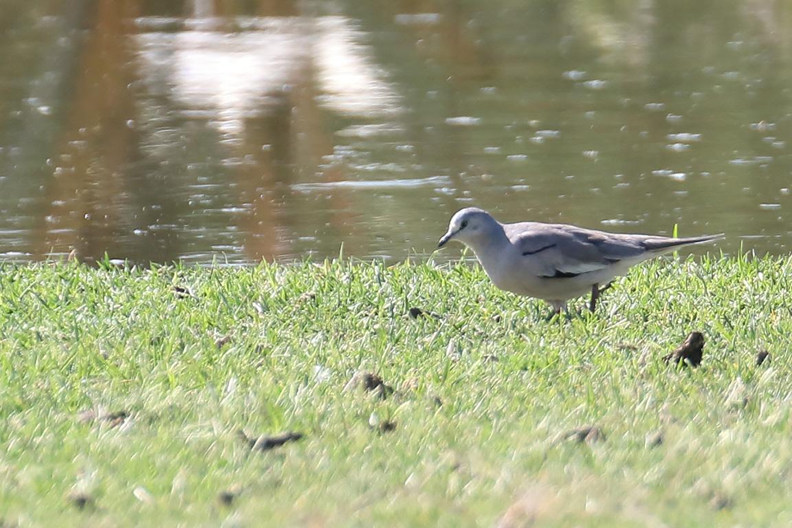 Picui Ground Dove, Entre Ríos, Argentina.