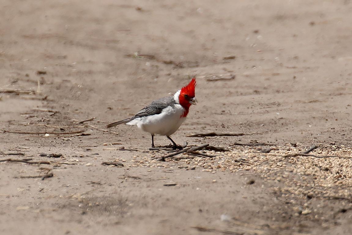 Red-crested Cardinal, Ceibas, Argentina.
