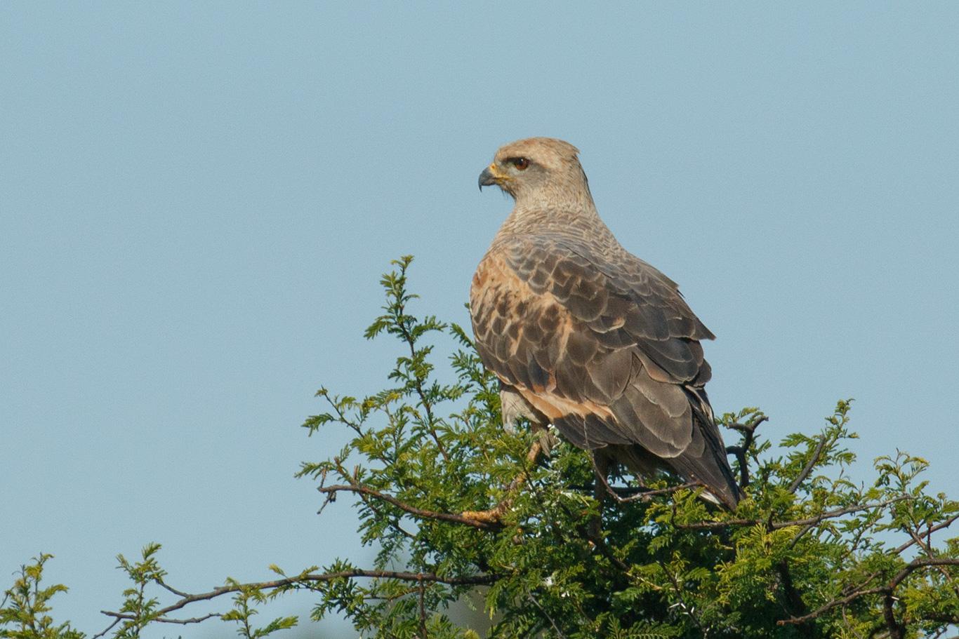 Savanna Hawk, Ceibas, Argentina.