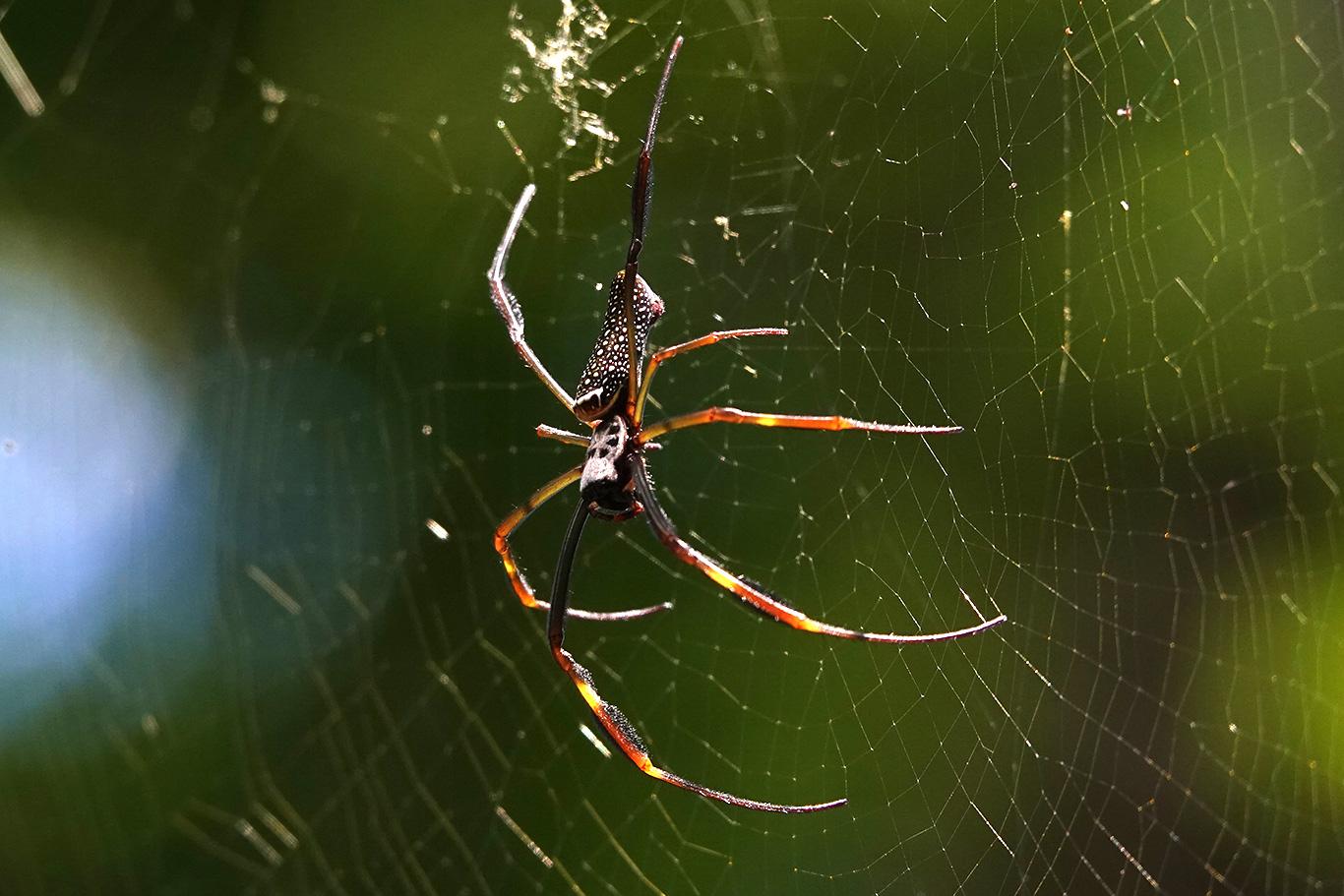 Spider sp., Parque Nacional Iguazú, Argentina.