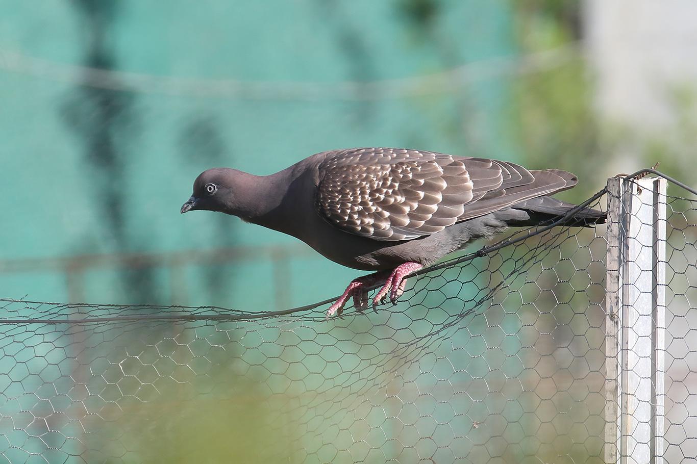 Spot-winged Pigeon, Entre Ríos, Argentina.