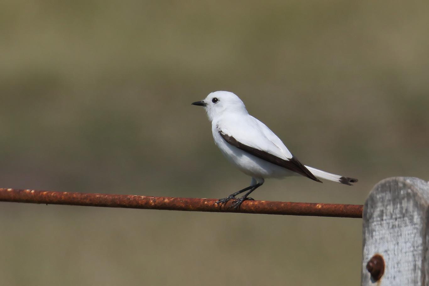 White Monjita, Entre Ríos, Argentina.