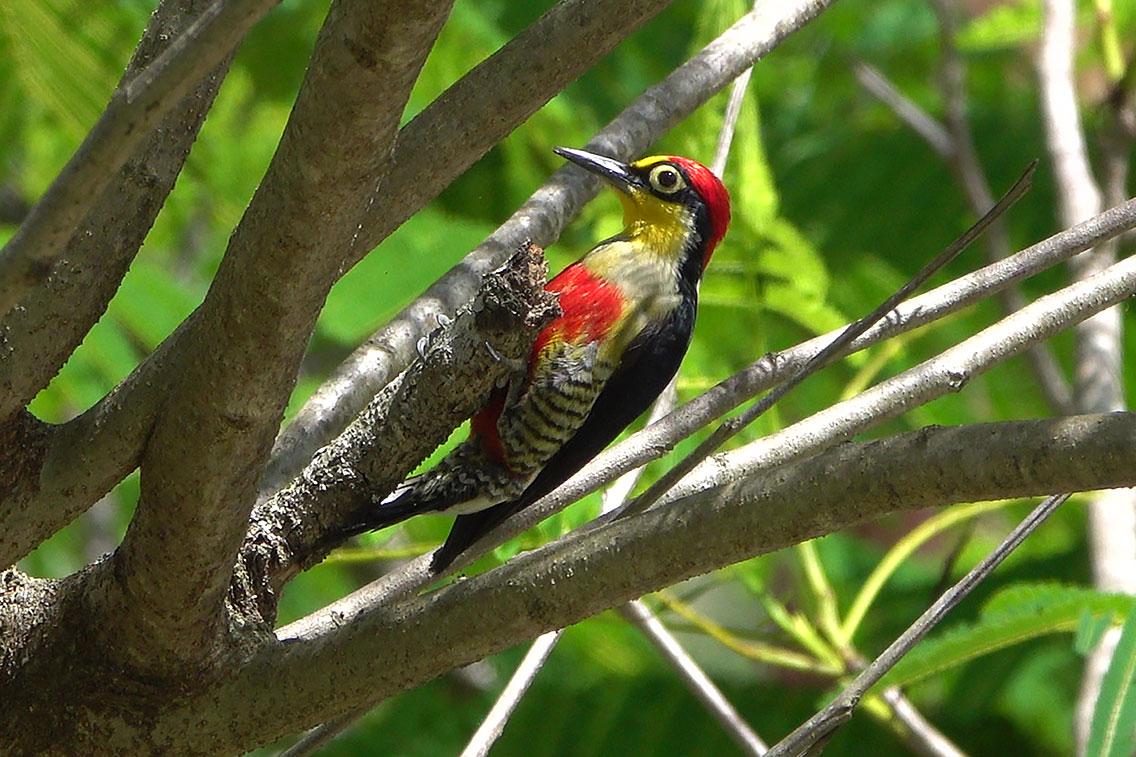 Yellow-fronted Woodpecker, Parque Nacional Iguazú, Argentina.